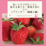甘いイチゴがたくさん取れる育て方・栽培方法のコツ(プランター・鉢植え編)