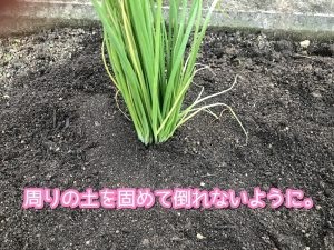 周りの土を固めましょう