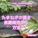 たまねぎの苗を長期保存する方法